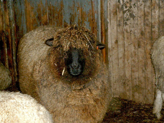 elmartin_farm_sheep_ewe.jpg